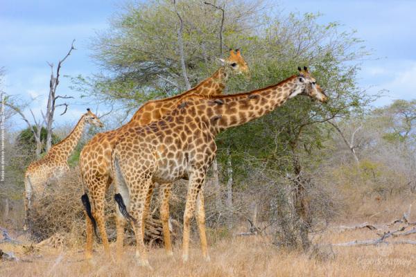 2013-08---Africa_Girafas_DSC_7213
